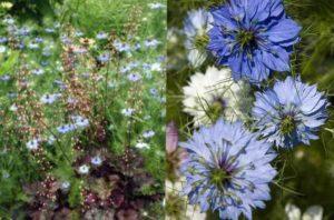 Нигелла: особенности выращивания, ухода и размножения- Виды растения +Видео