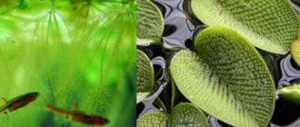 Аквариумистам известно, что папоротник Сальвиния притормаживает рост зелёных водорослей.