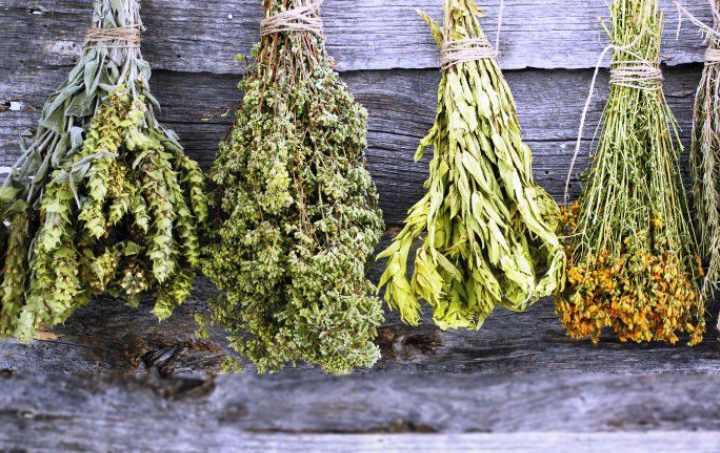 Иссоп лекарственный причисляется к растительным лекарям