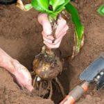 Лилия хорошо приживается в отдохнувшей почве