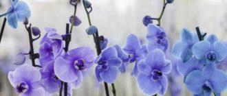 Этот цветок довольно часто встречается на подоконниках