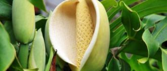 С растением связано множество суеверий