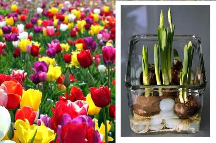 Много тюльпанов