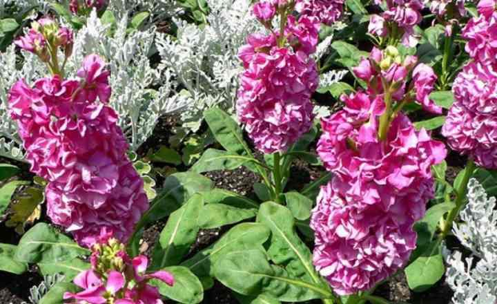 Невысокие кустики 30-35 см, имеют овально вытянутую форму листа, пурпурно-зеленого цвета.