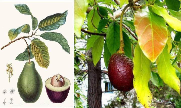 высота авокадо зависит от условий выращивания;