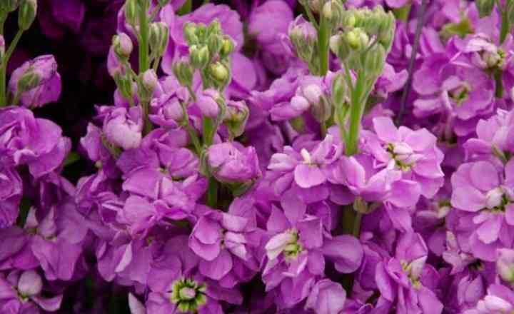 высокорастущий кустик, на крупных розовых цветах, нанесена темная черта