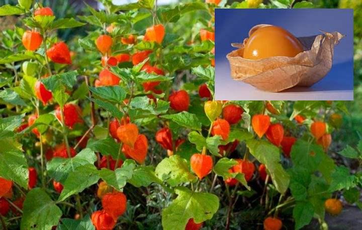 Физалис обыкновенный – это декоративное растение с горькими плодами.