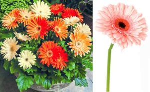 Является многолетним растением и относится к семейству Астровых. Он обладает невысоким стеблем, сильной корневой системой. Цветы герберы элегантно красивы и многообразны в оттенках. По внешнему виду они очень схожи с большой ромашкой.