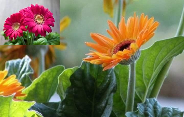 Выращивать дома герберу, безусловно, стоит ради её ярких и крупных цветов.