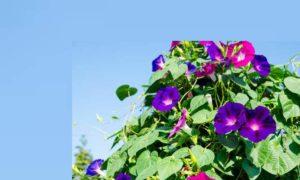Квамоклит перистый кипарисная лиана выращивание