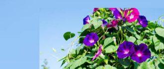 Квамоклит может создать хорошую тень на веранде или в беседке