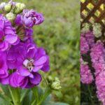 Так этот цветок назван в честь итальянского ученого и врача 16 века Пьетро Матиолли.
