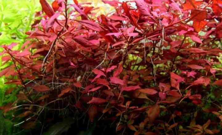 От условий освещения, которые вы обеспечите аквариумному растению, будет зависеть его окрас и декоративность.