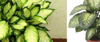 Крупные листья цветка повышают влажность в помещении