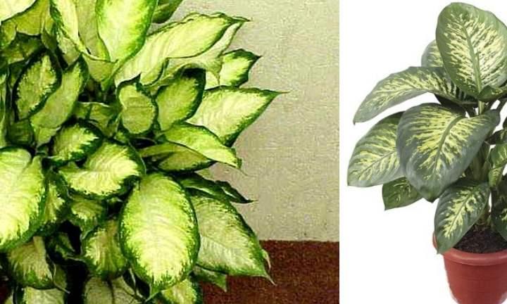 Виды и сорта Диффенбахии с фото и названиями