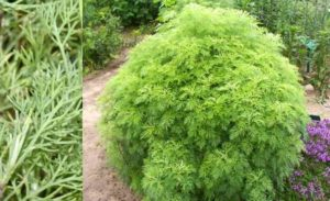 Полынь лечебная (лат. Artemisia abrotanum)
