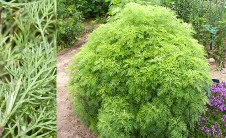 Божье дерево: лечебные свойства растения, применение и противопоказания. Полынь