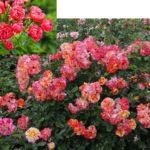 полиантовая группа роз отличается своей устойчивостью грибкам;