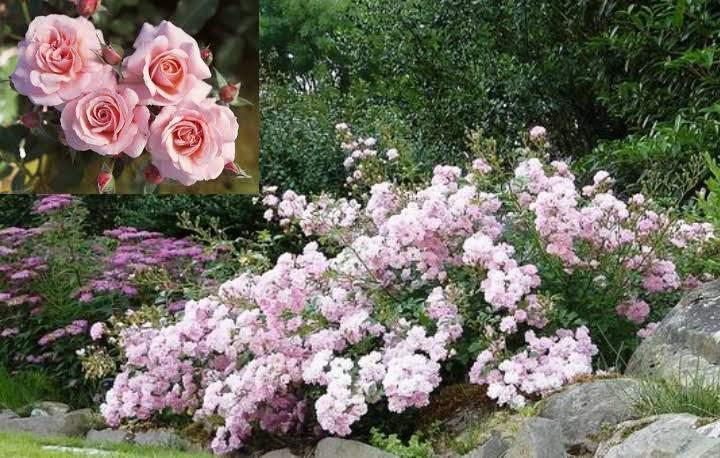 на каждом побеге розы сформированы цветы, что придаёт растению ещё больше густоты;