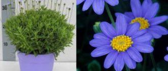 Растение цветет все лето нежными голубыми цветами, похожими по форме на ромашку.