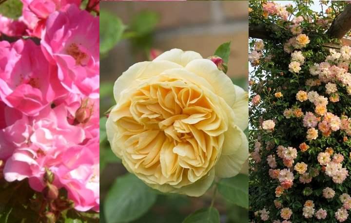полиантовая роза характеризуется отсутствием шипов, украсить она может даже участки в детских садах;