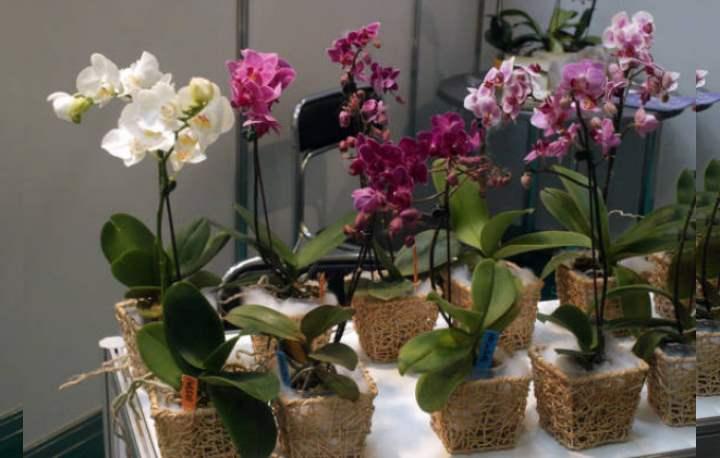 Как рассадить орхидею фаленопсис в домашних условиях