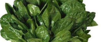Что такое шпинат и полное его описание можно прочитать ниже.