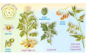 Строение цветка пасленовых
