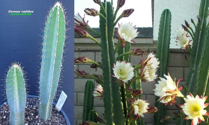 растёт до 2 м в высоту и состоит из 5-8 побегов по бокам ствола