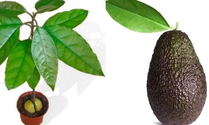 появление плодов на домашнем дереве маловероятно, в большей степени растение будет декоративным;