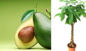 Что нужно делать, чтобы дерево авокадо плодоносило в домашних условиях- Обзор  Видео