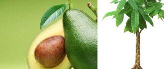 если созданы все необходимые условия, авокадо плодоносит, но вкус отличается от привезённых плодов;