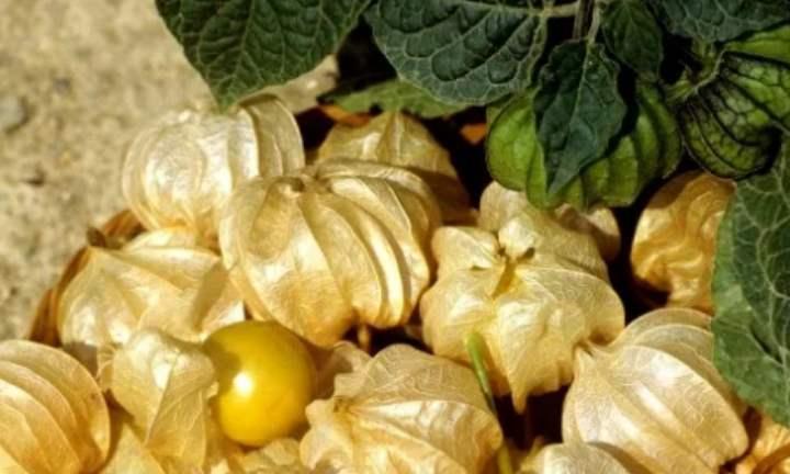 В тёплых климатических поясах физалис можно растить сразу в открытом грунте