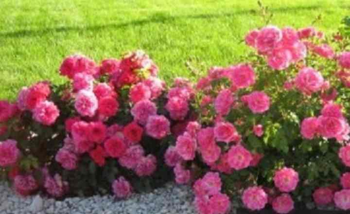 В местах с теплым климатом розу высаживают с ноября по март