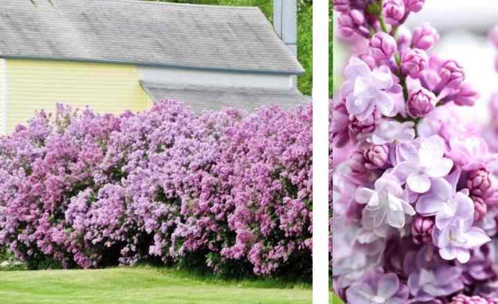 После цветения на кустах остаются увядшие бутоны