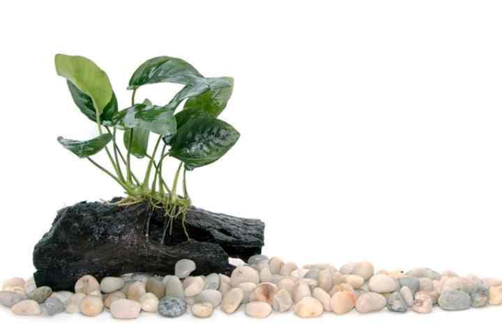 При искусственном освещении, люминесцентные лампы с лампой накаливания мощностью до 60 Вт размещают прямо над растениями