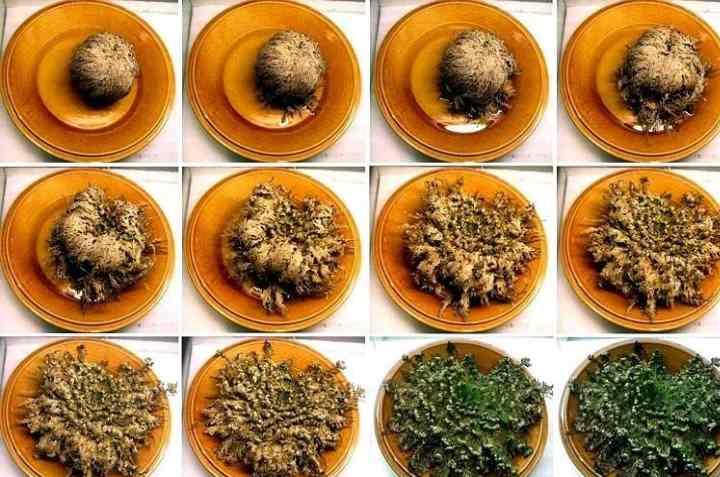 Селагинелла безножковая – отлично смотрится в ампельном выращивании