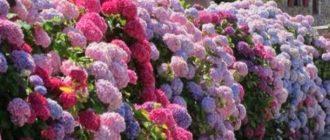 Растение не переносит понижение температуры ниже 0°С.