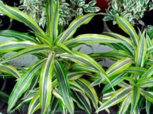 В естественной среде драцена растет в тропических и субтропических местах Европы, Азии, Африки.