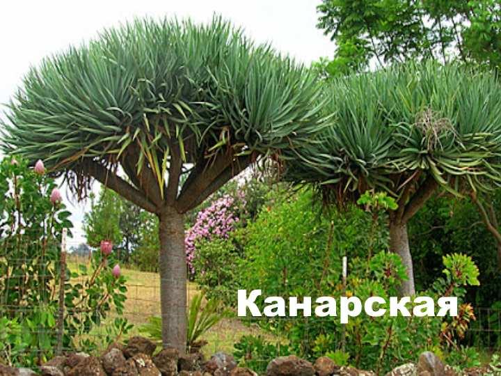 На западе Африки этот вид вырастает до 10 м. высотой. В домашних условиях растет до 1.5 метров.