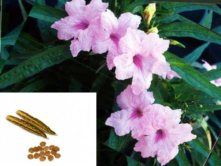Семена можно приобрести в магазине или собрать самостоятельно