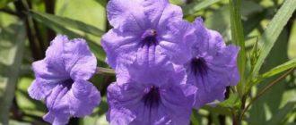Если посадить несколько черенков в одну емкость, растение будет выглядеть пышным кустиком.