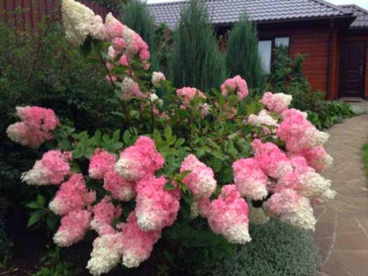 При благоприятном уходе гортензия формирует пышный куст, из 5-7 соцветий