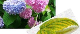 В доме или на участке цветок должен получать достаточно света, но он должен быть рассеянным.