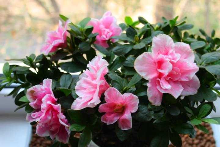 Капризное, но очень обильно цветущее растение. Родом из Китая, Японии, южной части Европы.