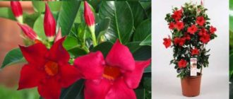 Экзотическое растение должно содержаться в теплом, влажном климате.