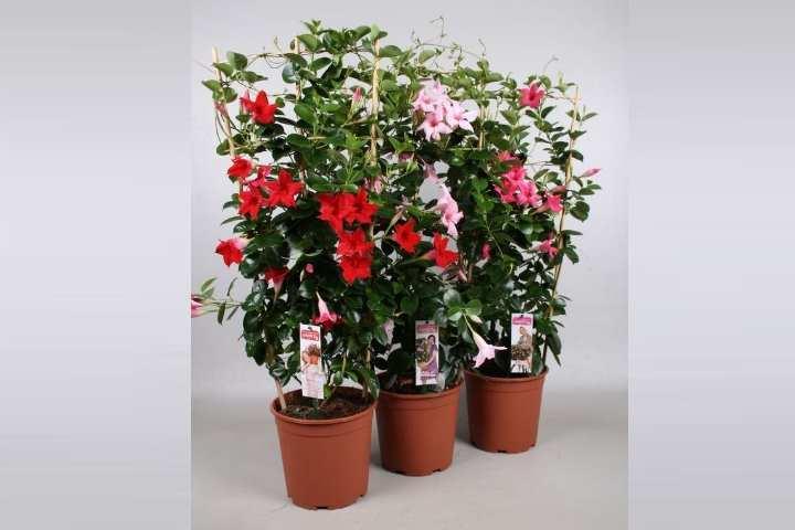 В короткие зимние дни, растение необходимо досвечивать фитолампой.