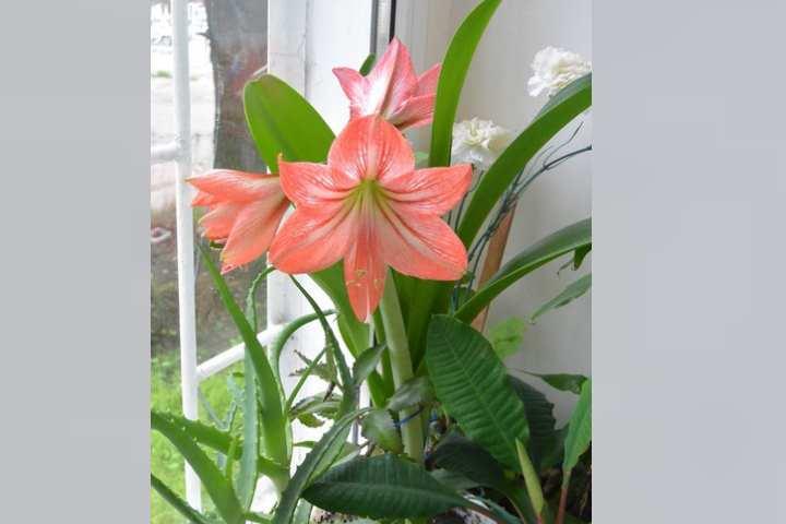 Существует огромное множество разных сортов лилий. Несмотря на свою красоту все сорта лилий являются ядовитыми.