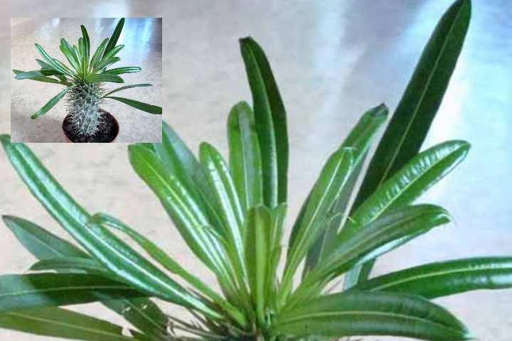 При контактировании с мадагаскарской пальмой необходимо надевать защитные перчатки, а после тщательно вымывать руки.