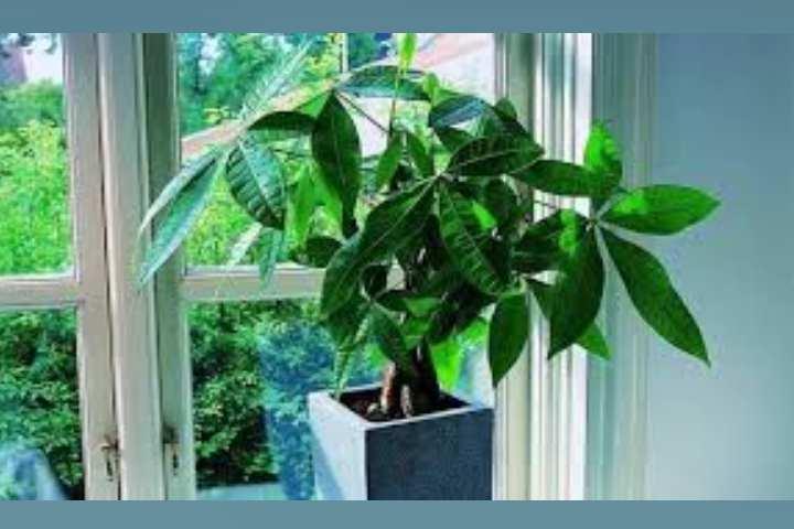 Для тропического растения, почва не должна быть питательной. Подойдет слабокислый, легкий, рыхлый грунт. Можно использовать готовые смеси для пальм и драцен.